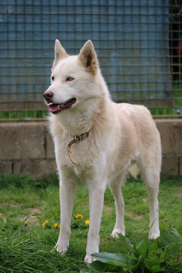 Max, né en 2007 - Husky Sibérien - REFU61 13220610