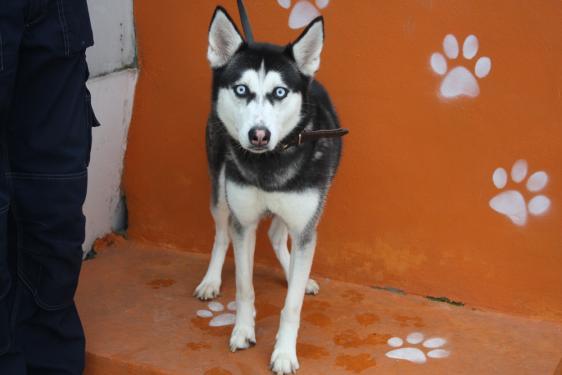 Kira, née le 13/08/2014 - Husky Sibérien - REFU92 Img_6510