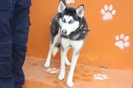Kira, née le 13/08/2014 - Husky Sibérien - REFU92 Img_6512