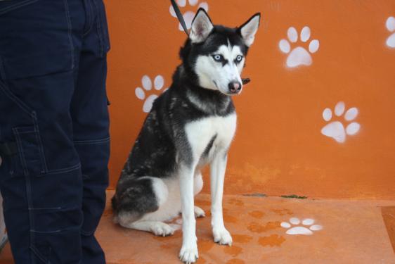 Kira, née le 13/08/2014 - Husky Sibérien - REFU92 Img_6514