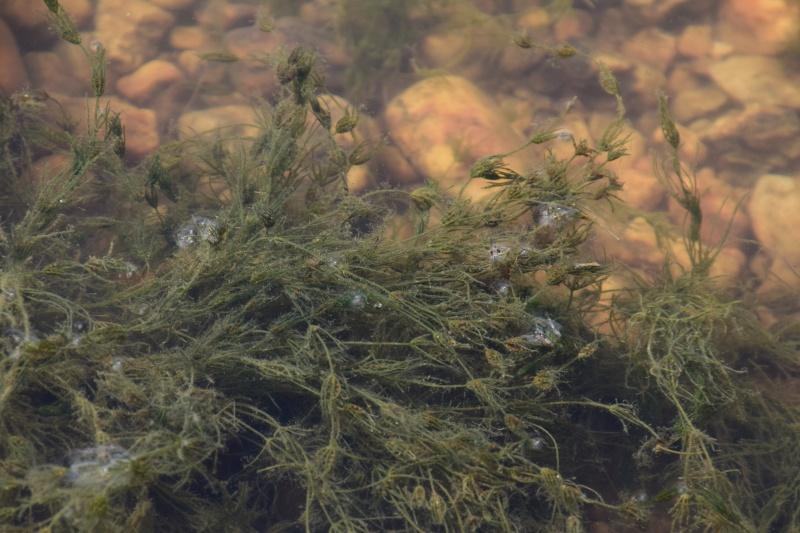 Zannichelia palustris ? 2015-010