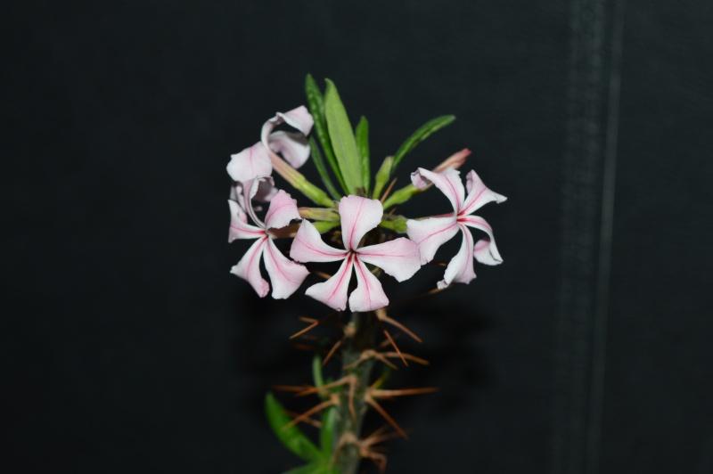 Pachypodium succulentum  - Page 3 Dsc_1110