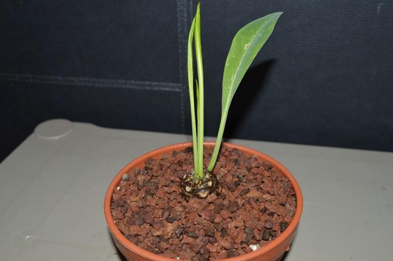 Euphorbia bupleurifolia E210