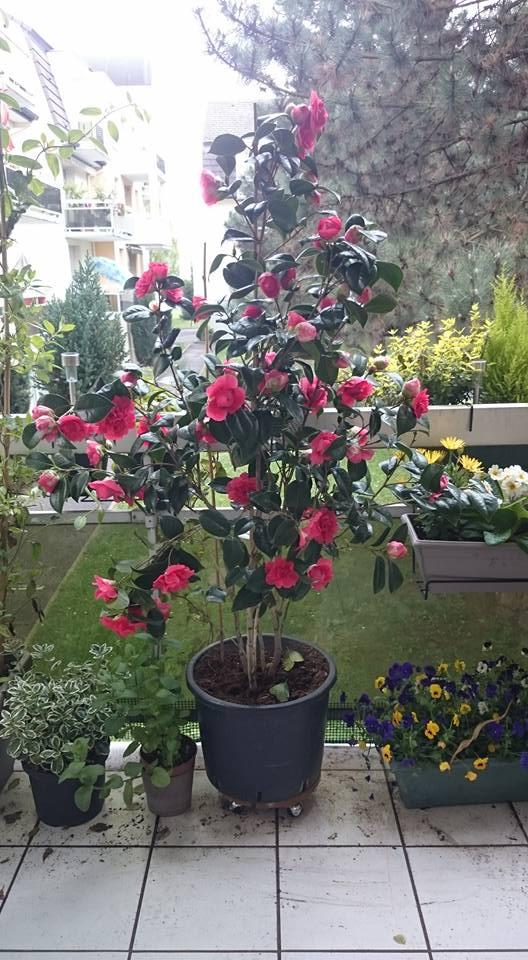 Camellia japonica Cameli10