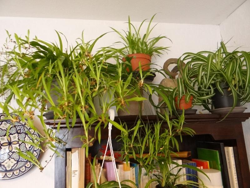 Planter un stolon de Chlorophytum Dsc09010