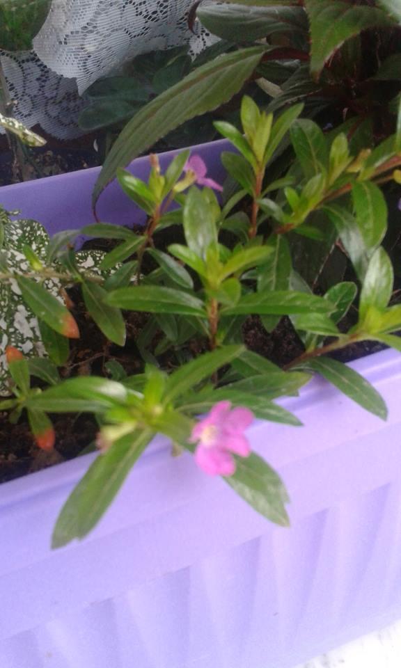 Japanska mirta-Cuphea hyssopifolia M110