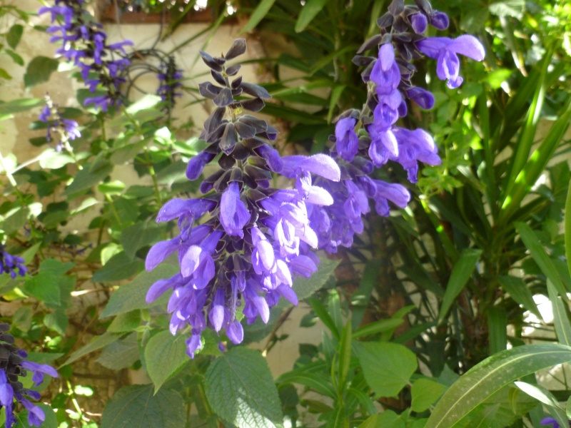 Salvia - les floraisons du moment - Page 16 P1000110