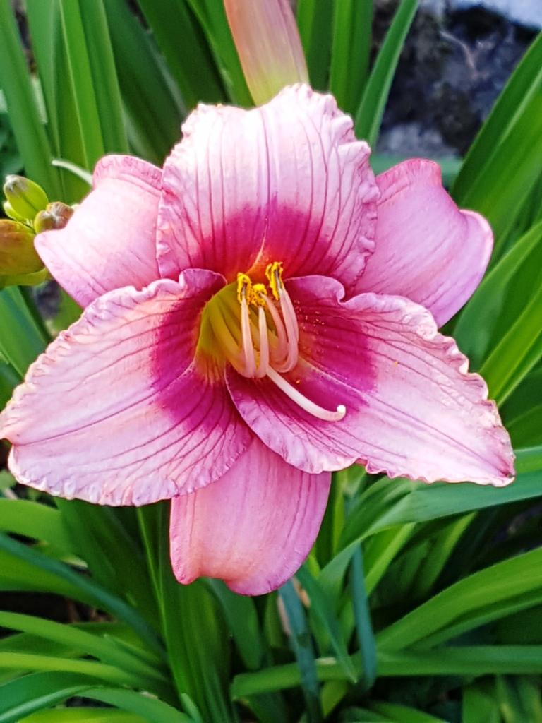 Hemerocallis - Taglilien - Schönheiten im Juni und Juli - Seite 8 20180618
