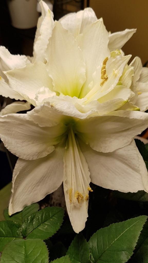 Amaryllisgewächse - Amaryllidaceae (Hippeastren, Nerine, Amaryllis, Agapanthus und auch Allium & Narzissen) - Seite 71 20200118