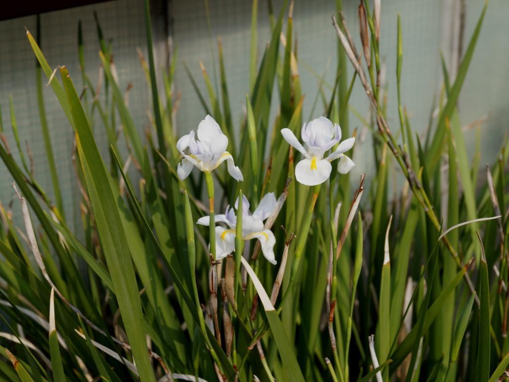 Schwertliliengewächse: Iris, Tigrida, Ixia, Sparaxis, Crocus, Freesia, Montbretie u.v.m. - Seite 29 Dietes13
