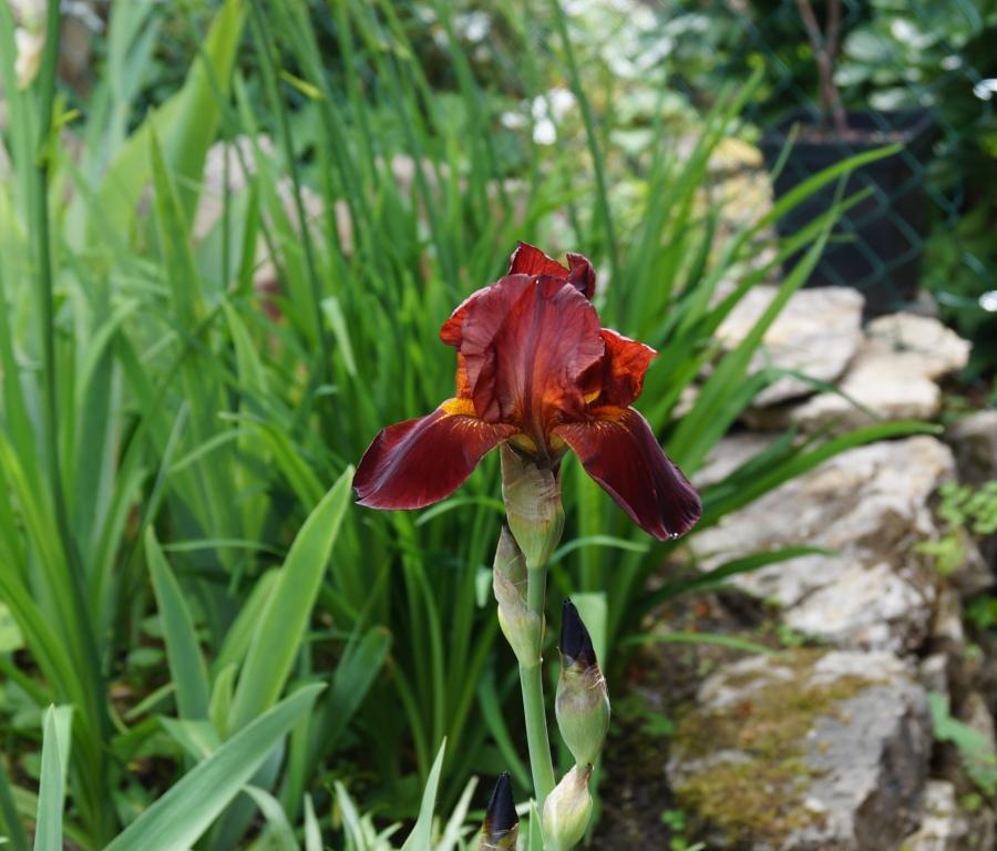 Schwertliliengewächse: Iris, Tigrida, Ixia, Sparaxis, Crocus, Freesia, Montbretie u.v.m. - Seite 26 Dsc00029