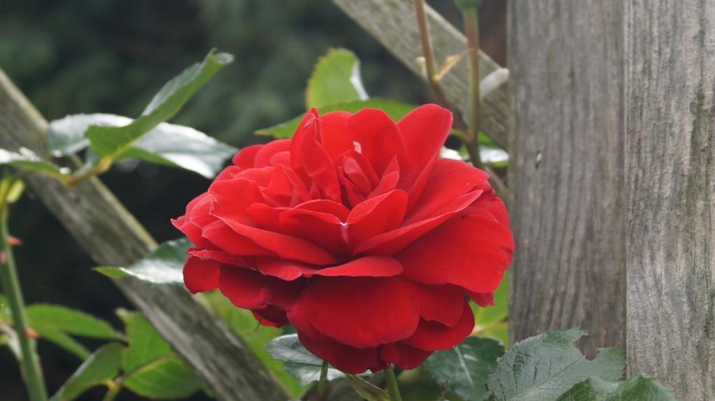 """Rosen - ein Thread für die """"Königin"""" - Seite 13 Dsc00126"""