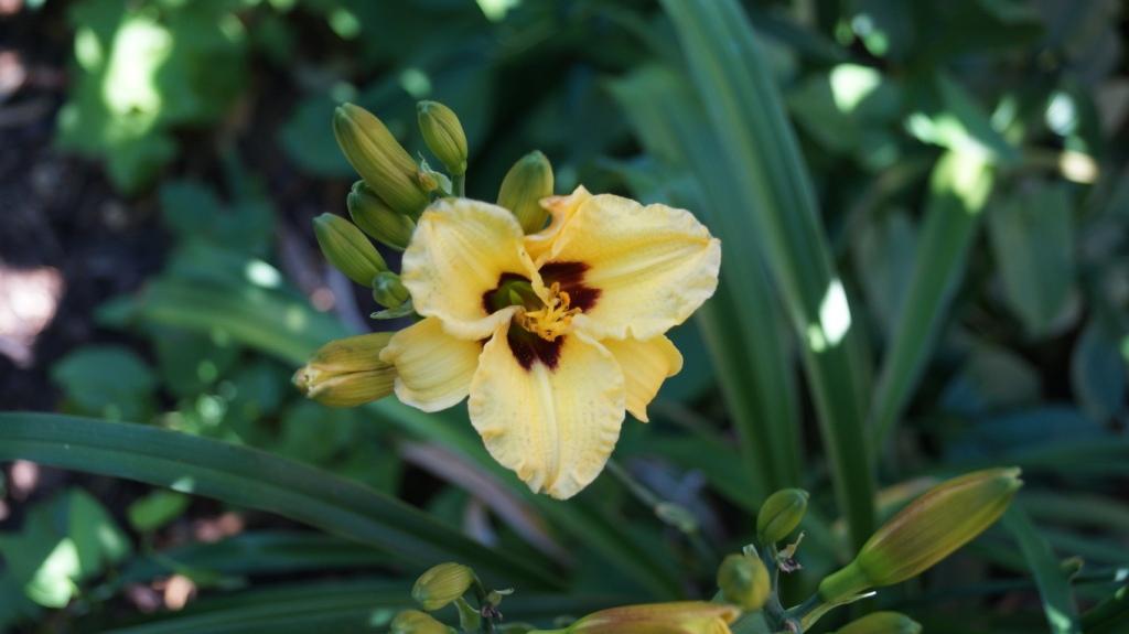 Hemerocallis - Taglilien - Schönheiten im Juni und Juli - Seite 9 Dsc01315