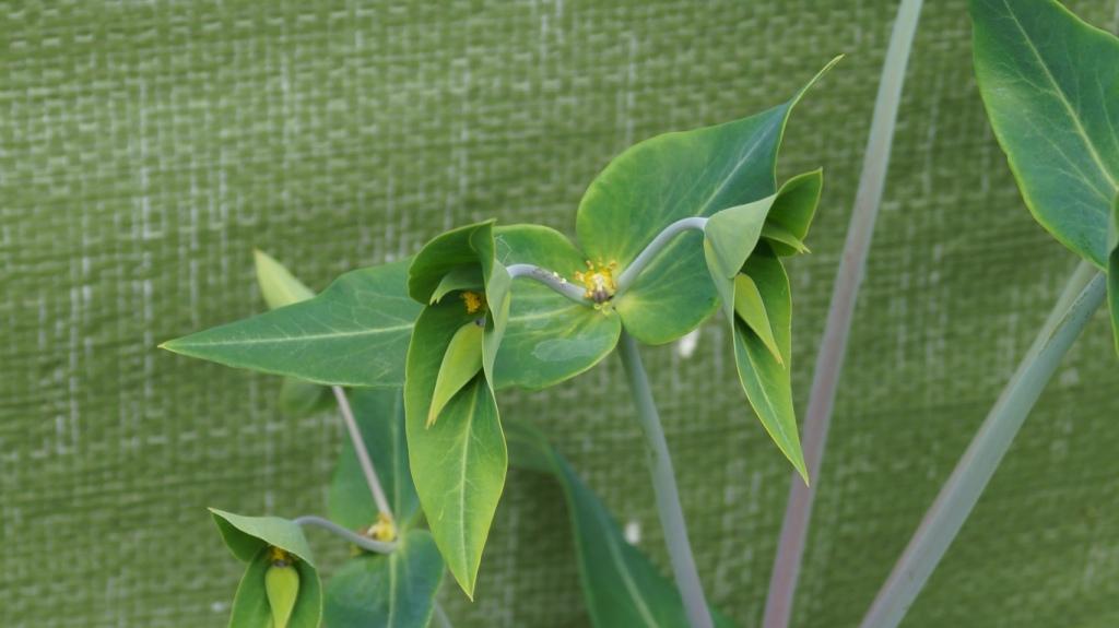 Wildblumen ( Sammelthread) - Seite 21 Euphor22
