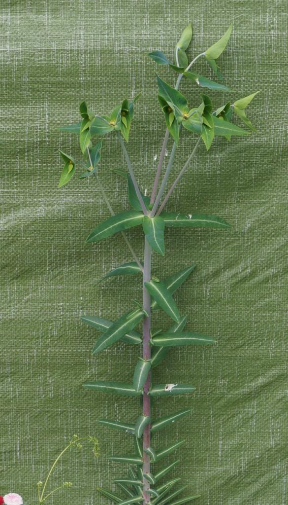 Wildblumen ( Sammelthread) - Seite 21 Euphor23
