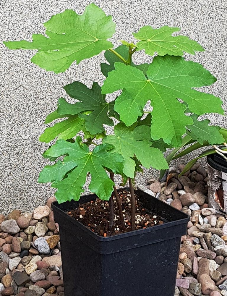 Exotisches Obst - Aussaat, Aufzucht, Vermehrung und Pflege - Seite 14 Ficus_10