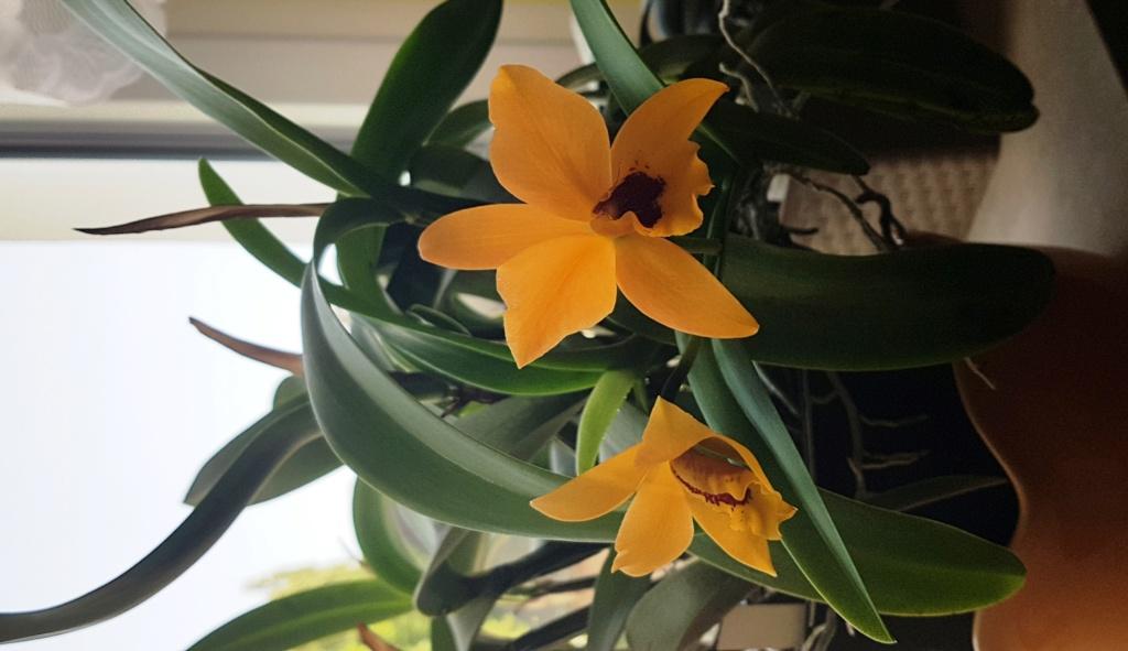 Orchideen 3 (fortlaufende Seiten 300 bis 400) - Seite 74 Gold_d12