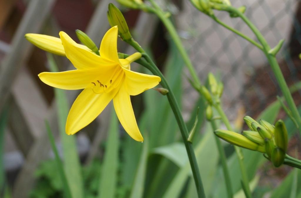 Schwertliliengewächse: Iris, Tigrida, Ixia, Sparaxis, Crocus, Freesia, Montbretie u.v.m. - Seite 29 Hemero10