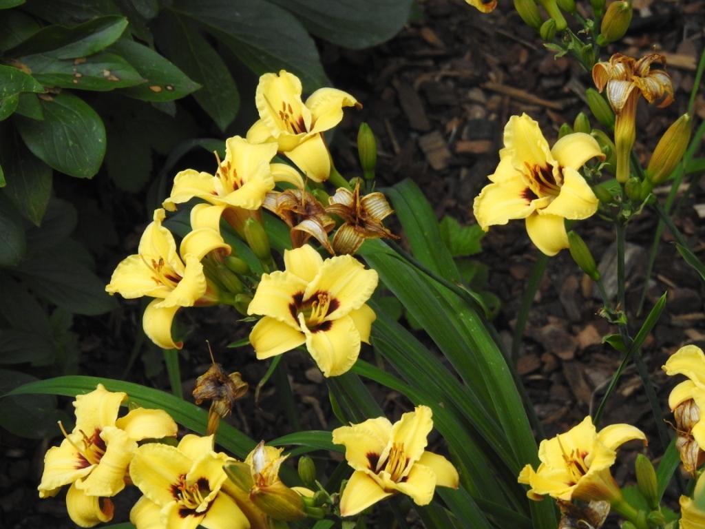 Hemerocallis - Taglilien - Schönheiten im Juni und Juli - Seite 10 Hemero11