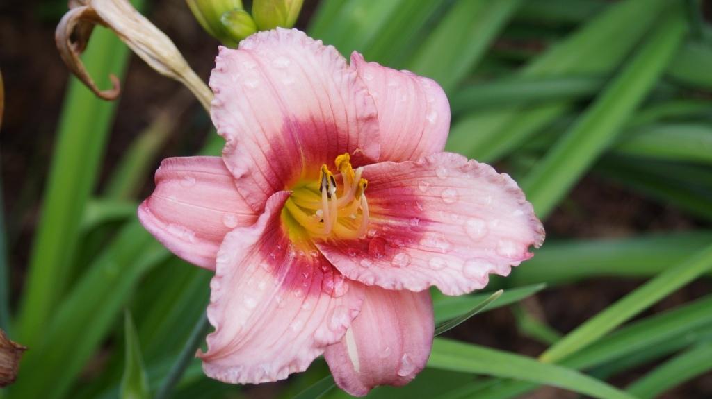Hemerocallis - Taglilien - Schönheiten im Juni und Juli - Seite 10 Hemero12