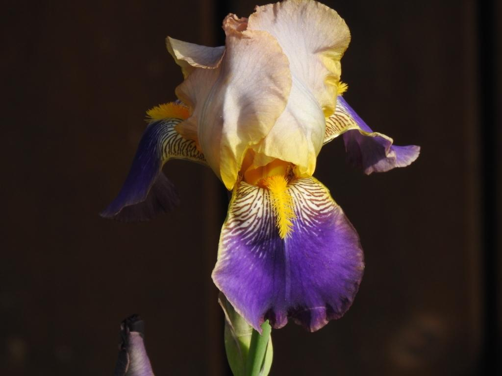 Schwertliliengewächse: Iris, Tigrida, Ixia, Sparaxis, Crocus, Freesia, Montbretie u.v.m. - Seite 26 Iris_b12
