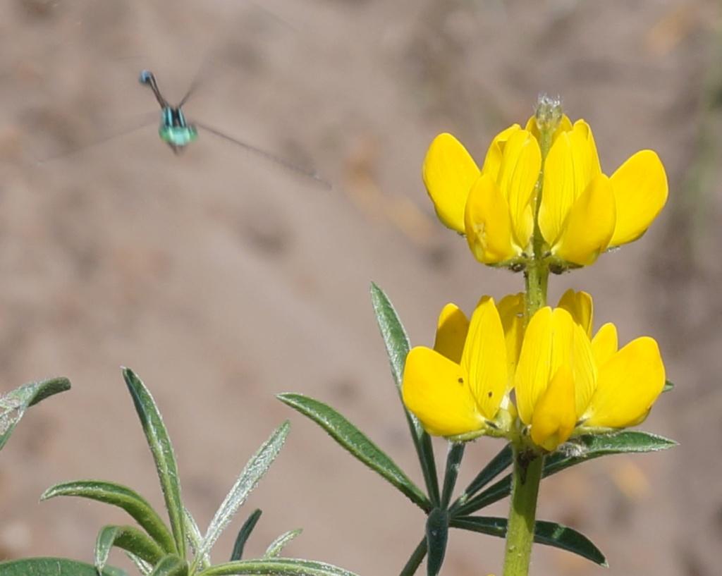 Wildblumen ( Sammelthread) - Seite 21 Lupinu10
