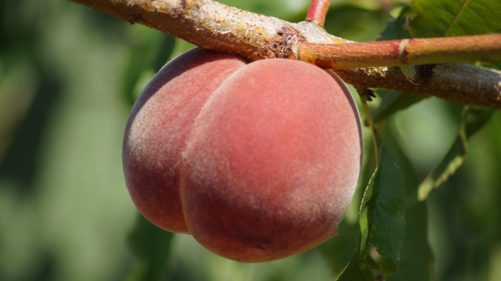 Exotisches Obst - Aussaat, Aufzucht, Vermehrung und Pflege - Seite 16 Pfirsi10