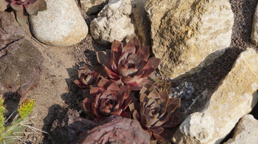 Hang- und Steingartenpflanzen - Seite 33 Semper21