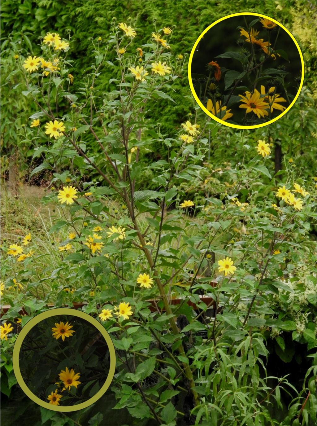 Sonnenblumen(artige) - Heliantheae - Seite 4 Unbena10