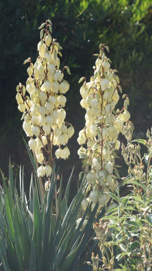 Hang- und Steingartenpflanzen - Seite 31 Yucca011