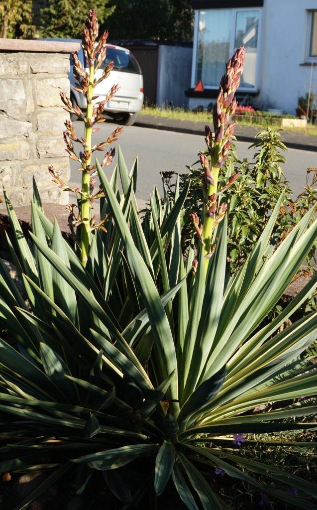 Hang- und Steingartenpflanzen - Seite 32 Yucca014