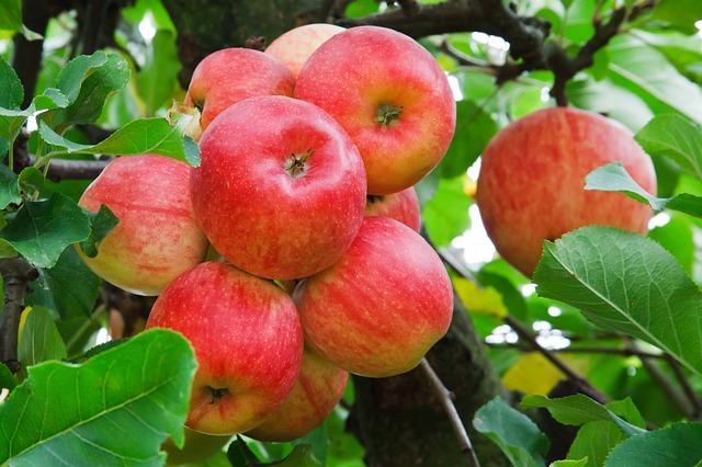 Razmnožavanje sadnica voća cijepljenje-kalemljenje voća  Apples10