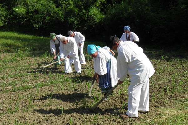 Organska poljoprivreda Kuruza10