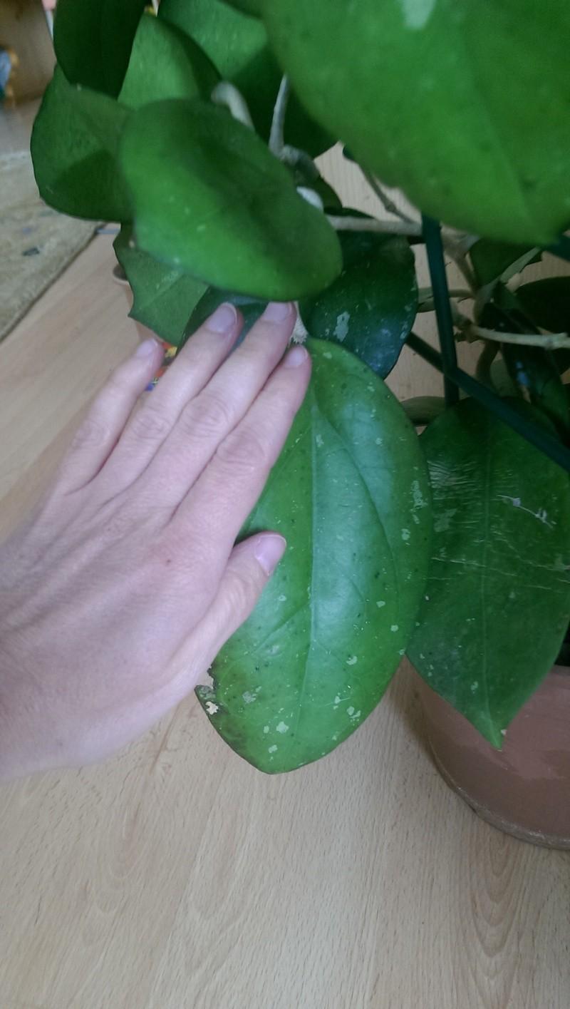 Zeigt doch mal eure größten Hoyas Imag0128