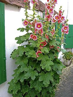 le bassin floral d'été de mes anodonte et moules naine - Page 2 250px-10
