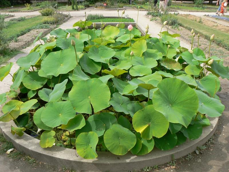 le bassin floral d'été de mes anodonte et moules naine - Page 3 P1160410