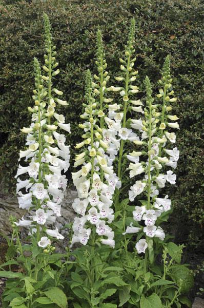 le bassin floral d'été de mes anodonte et moules naine - Page 2 Pl200010