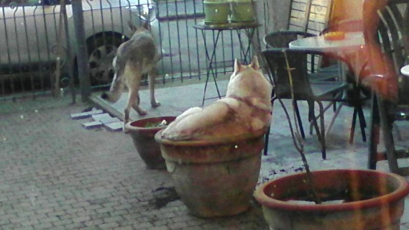 Google femelle husky 4 ans pas de chats ASSO Belgique  - Page 2 12644810