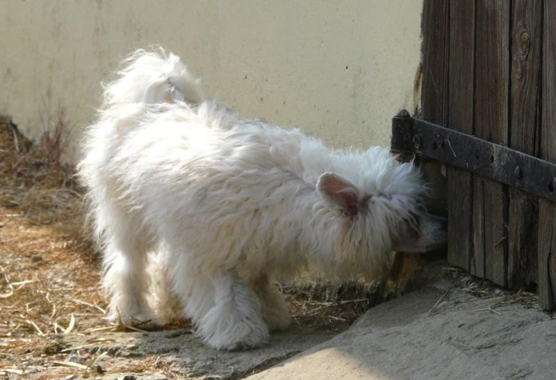 """Luna petite houpette de 9 mois """"chiens chinois à poils""""Adoptée  Galga_19"""