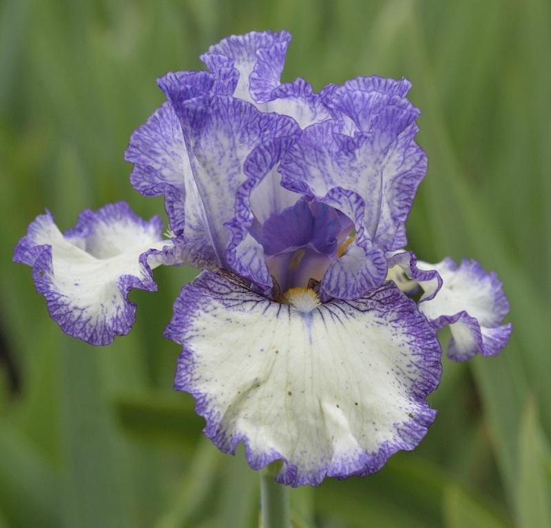 Plicata bleu à identifier _dsc7411
