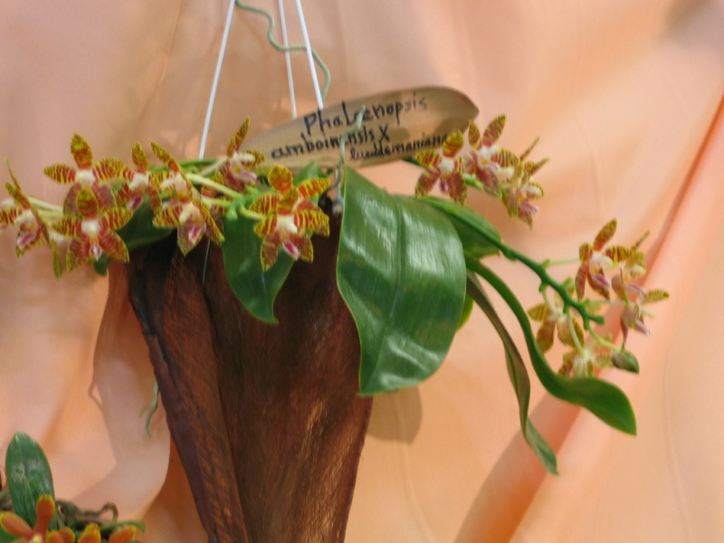 Exposition internationale d'orchidées à Feurs (Loire) 23 et 24 avril 2016 Amb_x_10