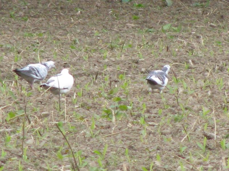 Pigeons à Lauzach Img_6015