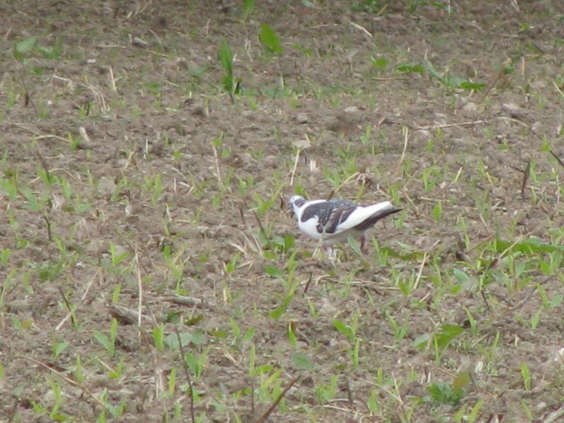 Pigeons à Lauzach Img_6016