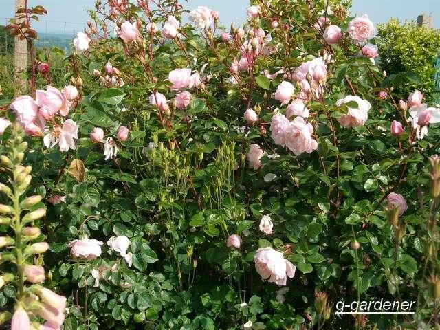 Rosa 'The Generous Gardener' ! Juin_010