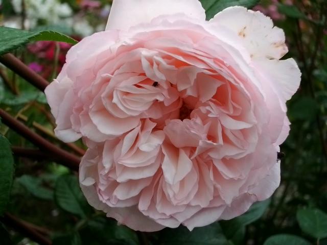 Rosa 'The Generous Gardener' ! Juin_011