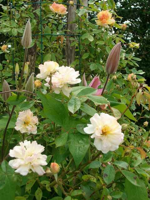 Rosa 'Phyllis Bide' !!! - Page 3 Rose_p10