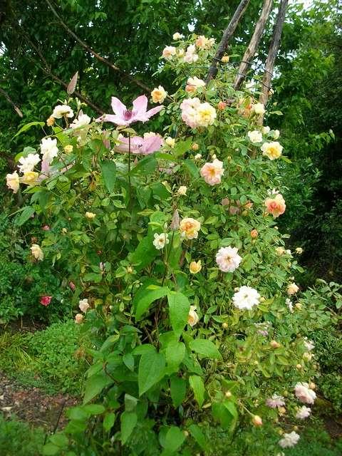 Rosa 'Phyllis Bide' !!! - Page 4 Rose_p12