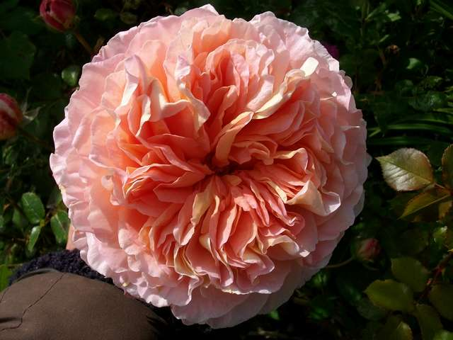 'Abraham Darby' !!! - Page 4 Rosier11