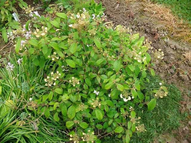 Viburnum plicatum 'Watanabe' !!! - Page 5 Viburn10