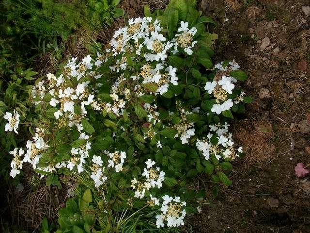 Viburnum plicatum 'Watanabe' !!! - Page 5 Viorne10